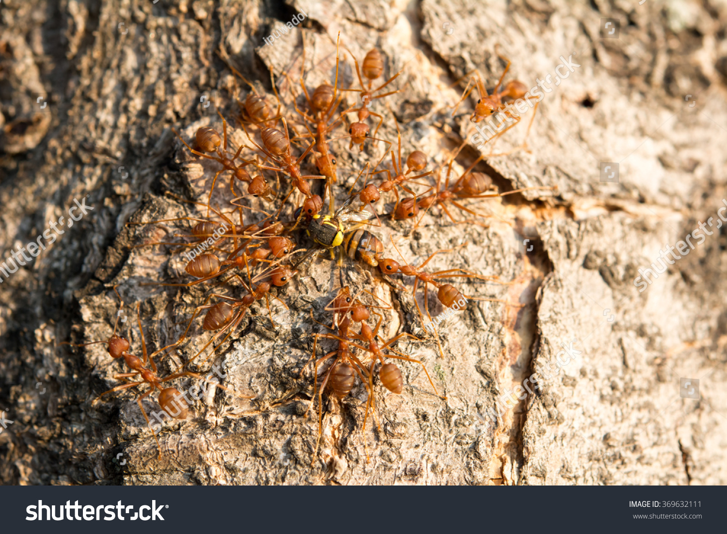Red Ant Swarming Fly Food Stock Photo 369632111 - Shutterstock
