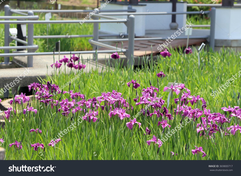 Ikeda osaka japanmay 28 iris flower stock photo 369800717 shutterstock ikeda osaka japan may 28 iris flower garden at suigetsu park izmirmasajfo Gallery