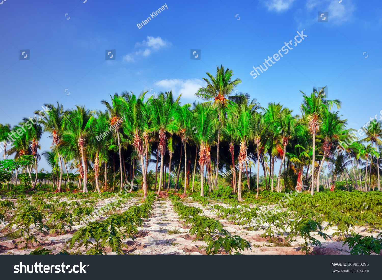 Coconut Tree Fruitscoconutson Tropical Island Maldives
