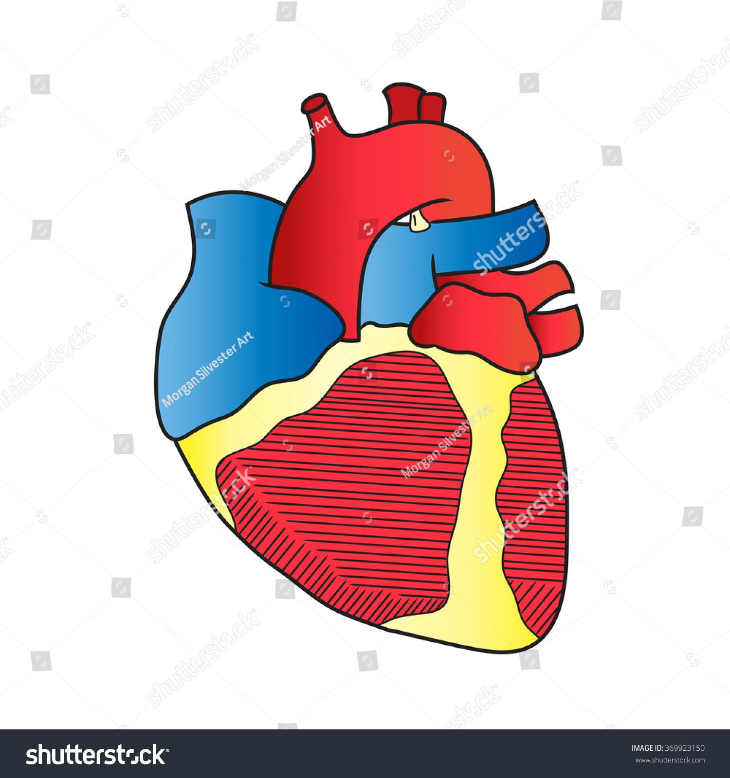 Anatomy Heart Anterior View Isolated Stock Illustration 369923150 ...