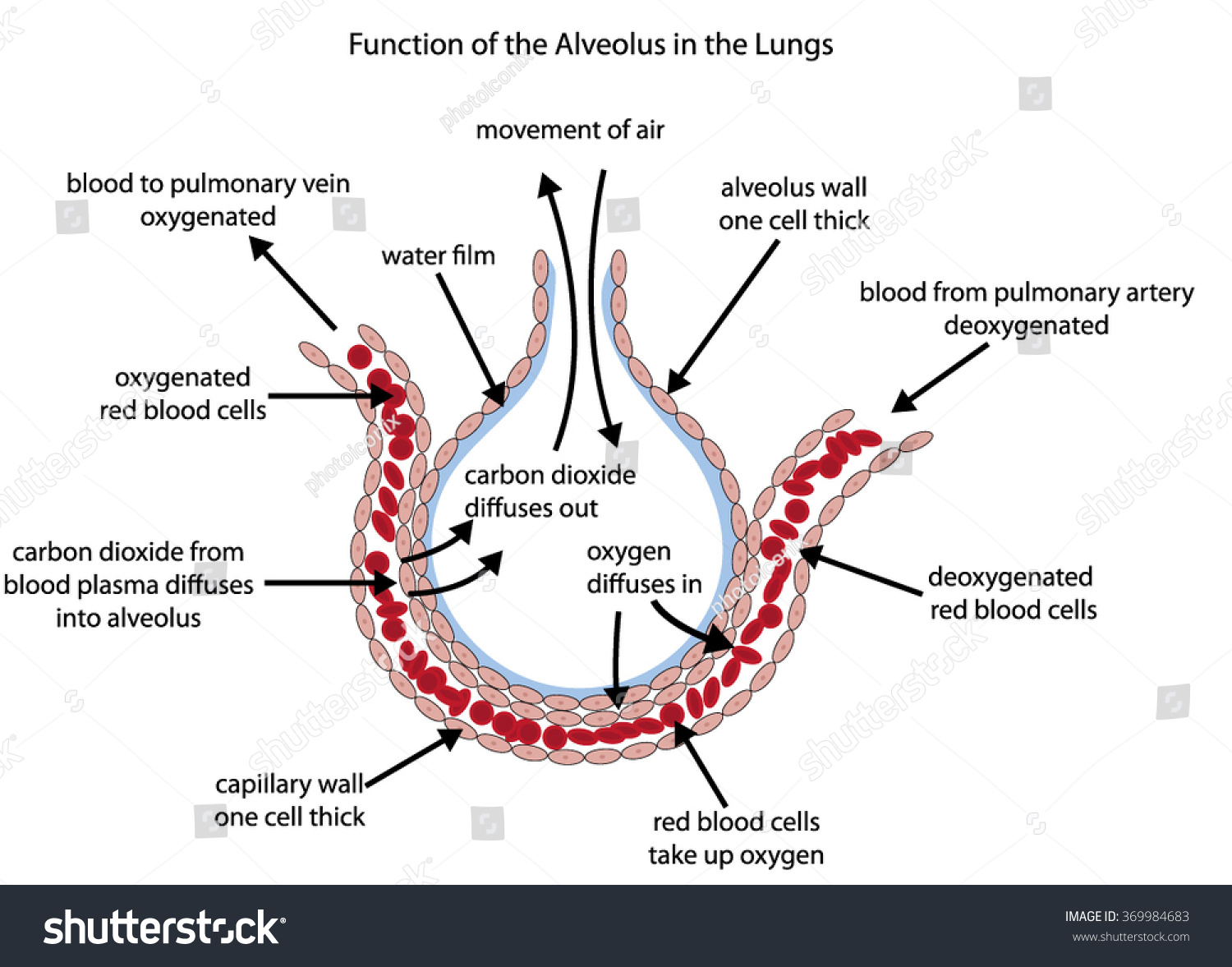 Fully Labelled Diagram Alveolus Lungs Showing Stock Vector