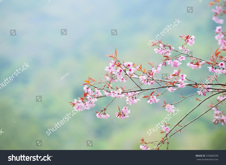 Spring Sakura Cherry Blossom Stock Photo 370086599