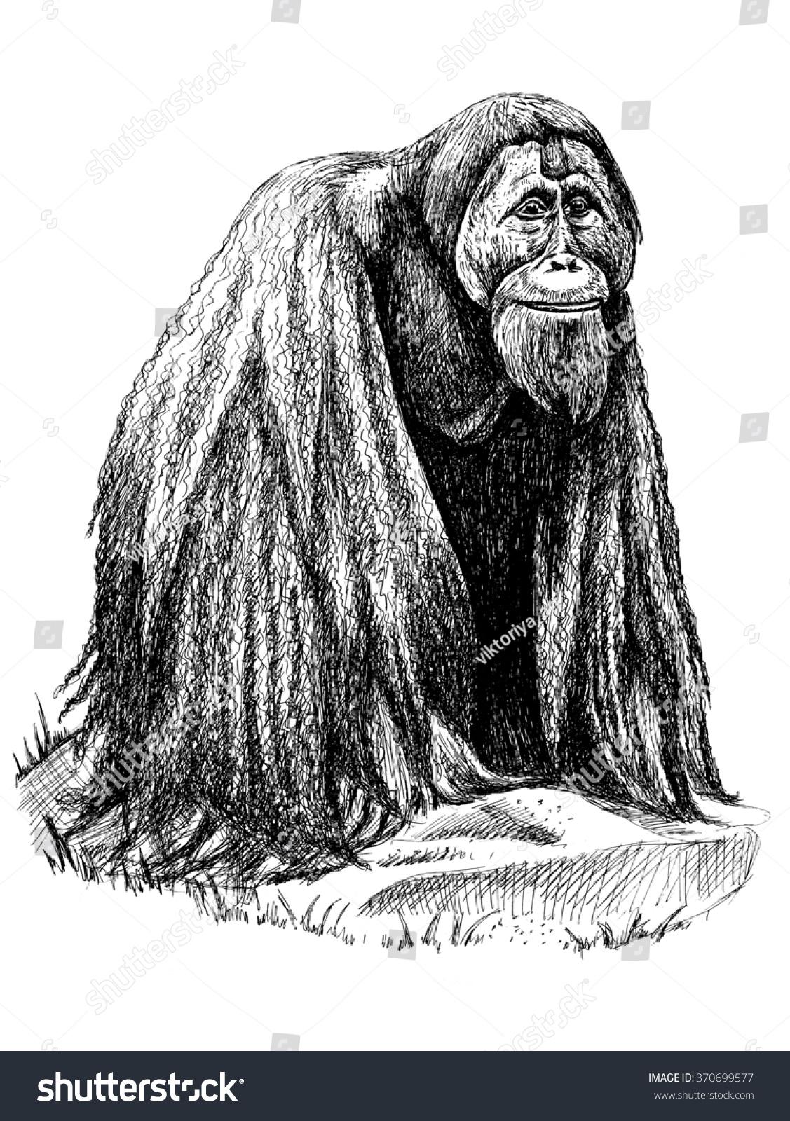 Uncategorized Orangutan Drawing monkey orangutan drawing stock illustration 370699577 shutterstock drawing