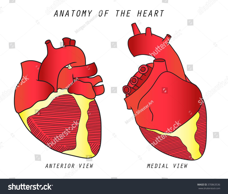 Anatomy Heart Anterior Medial View Text Stock Illustration 370863536 ...