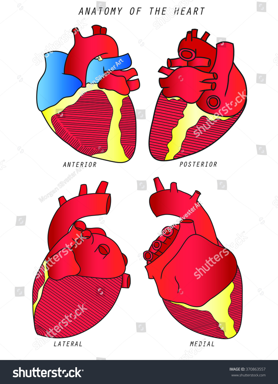 Anatomy Heart Poster Text Stock Illustration 370863557 - Shutterstock
