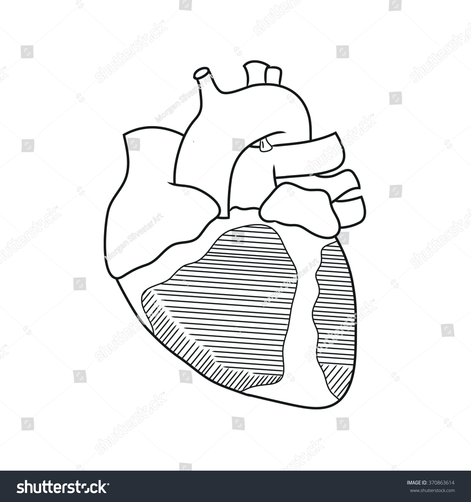Anatomy Heart Anterior View Stock Illustration 370863614 - Shutterstock
