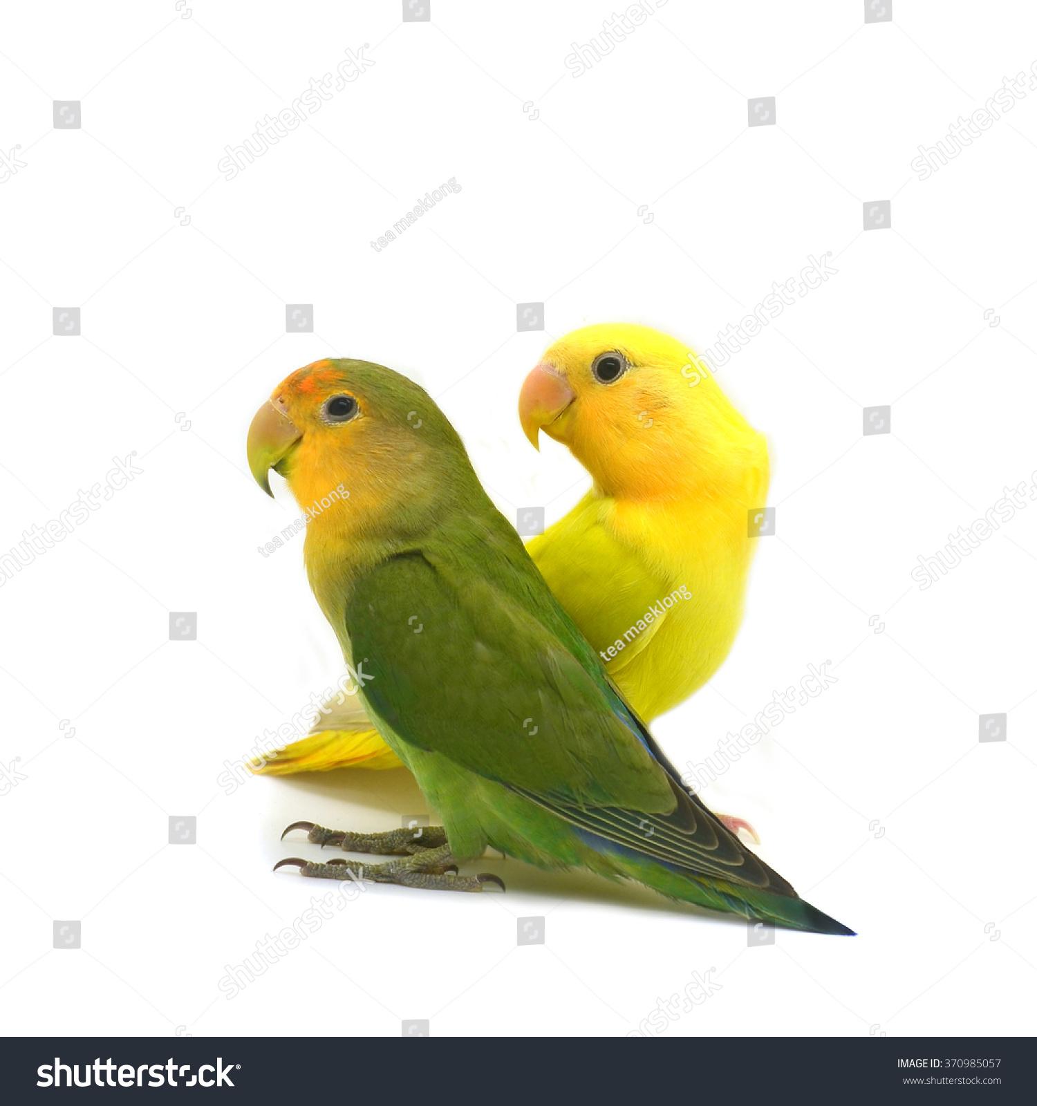 beautiful green yellow parrot lovebird isolated stock photo