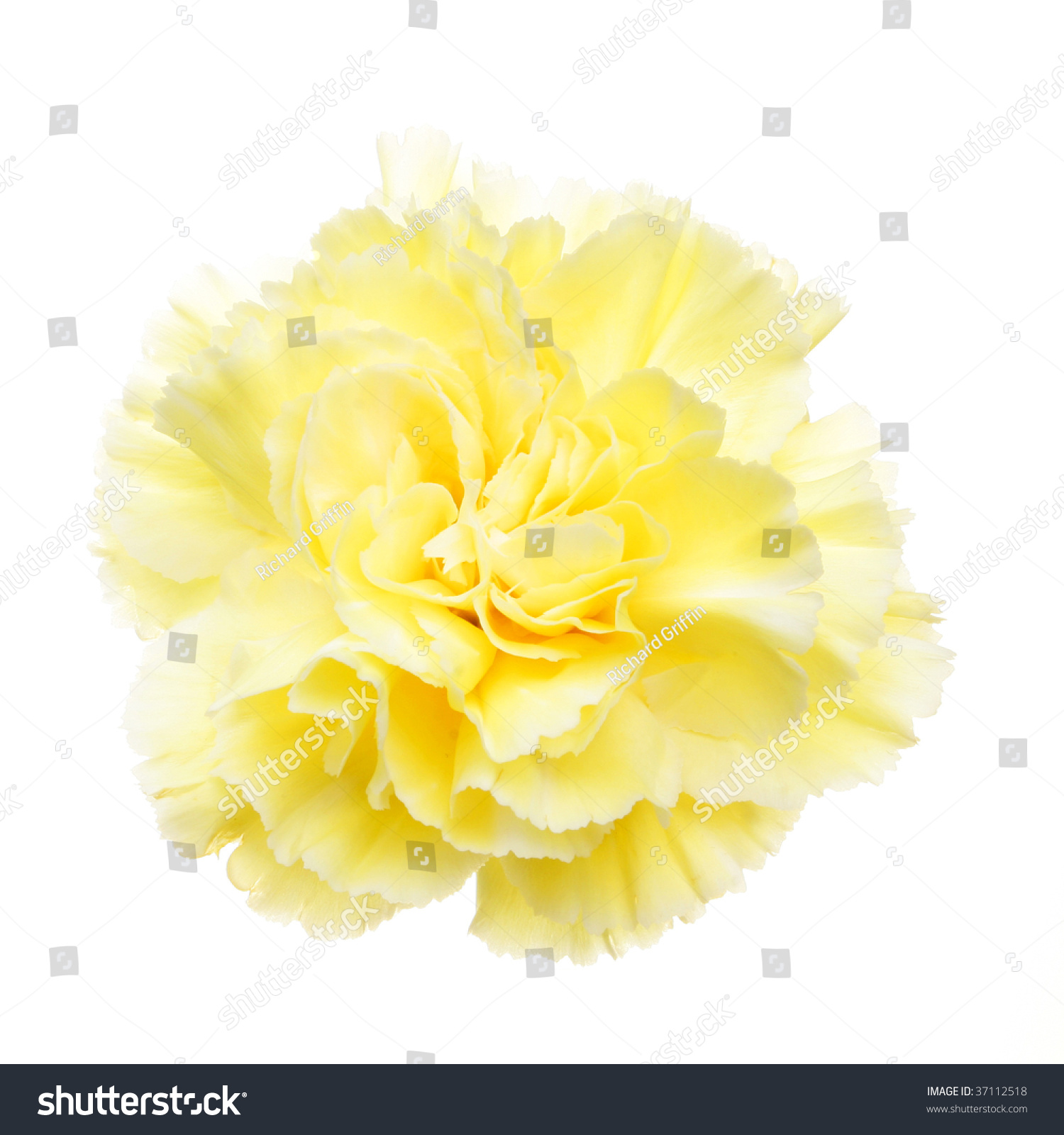 Yellow Carnation Flower Isolated On White Stock Photo Edit Now