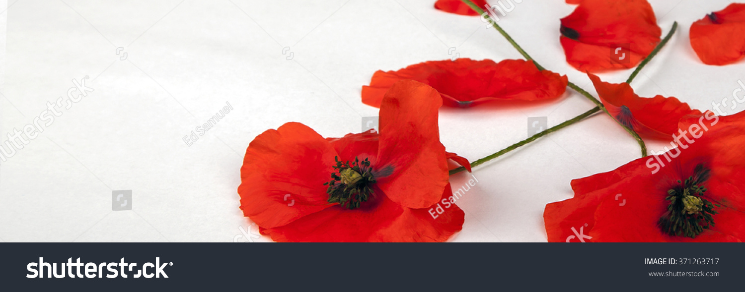 Poppies Remembrance Day Isolated On White Stock Photo Edit Now