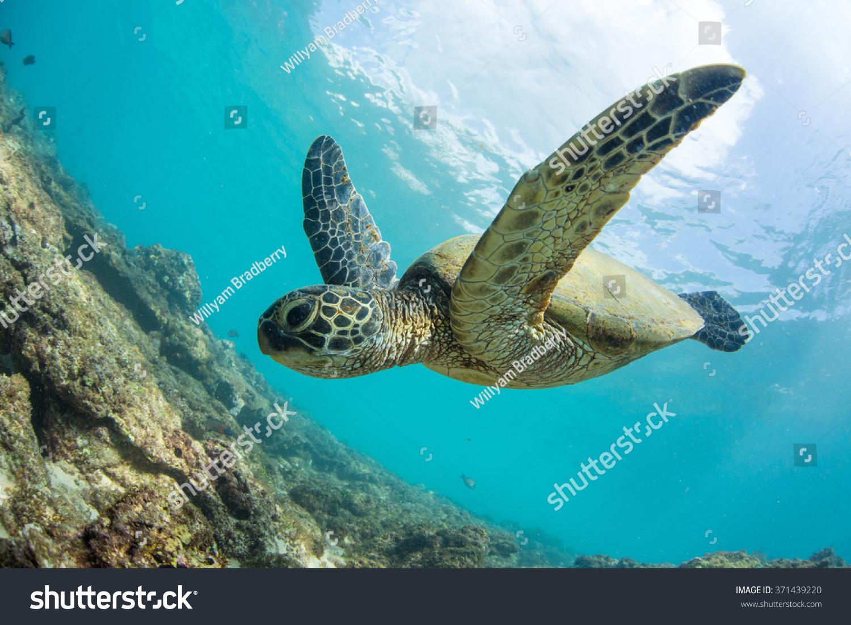 green turtle floating underwater hawaiian sea stock photo