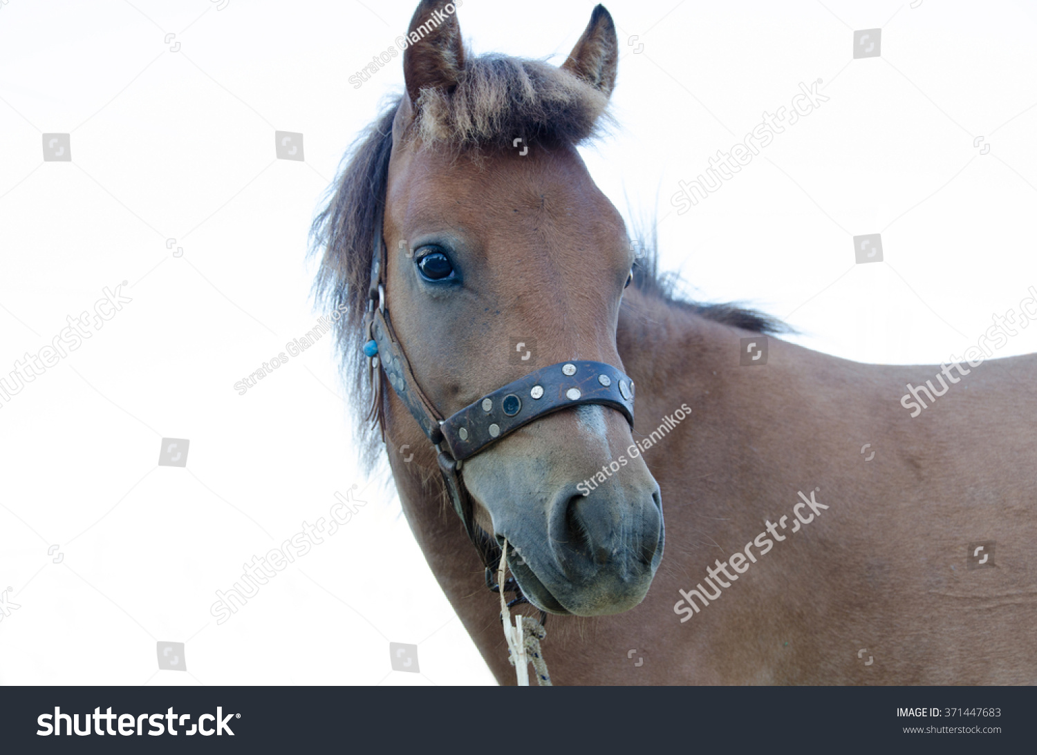 Small Bodied Greek Skyrian Horse One Stock Photo Edit Now 371447683