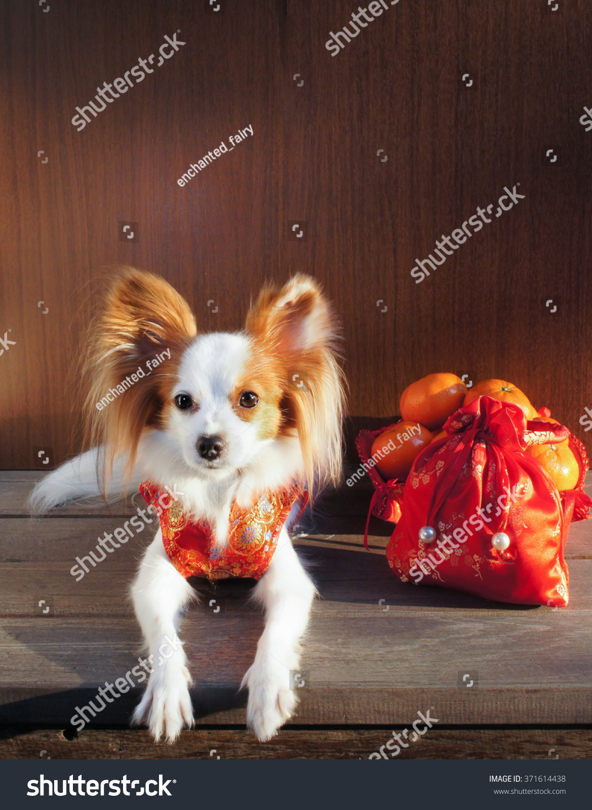 Simple Papillon Canine Adorable Dog - stock-photo-adorable-dog-in-chinese-traditional-red-dress-qipao-made-from-silk-isolated-on-wooden-371614438  Photograph_358568  .jpg