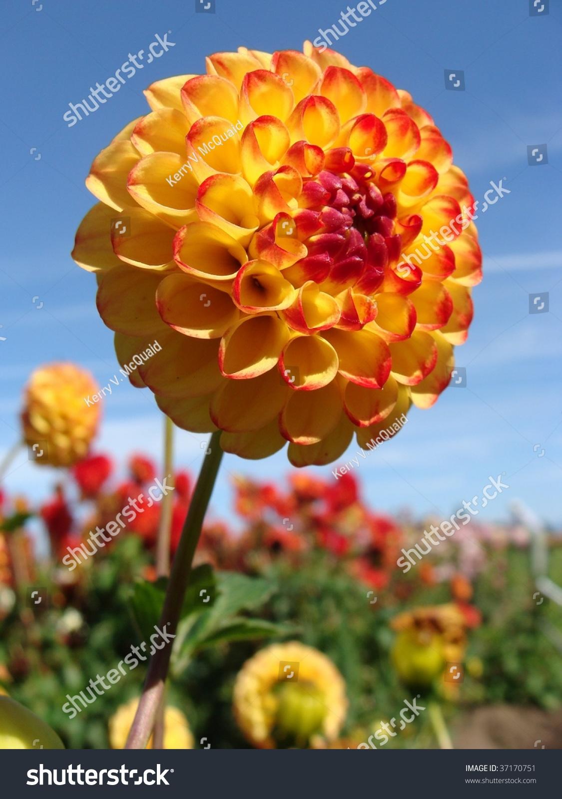 Yellow Dahlia Flower Field Stock Photo Edit Now 37170751