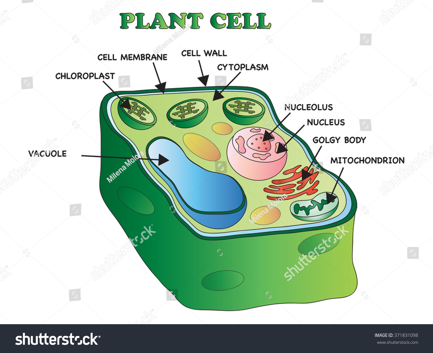 royalty-free illustration of an plant cell #371831098 stock photo