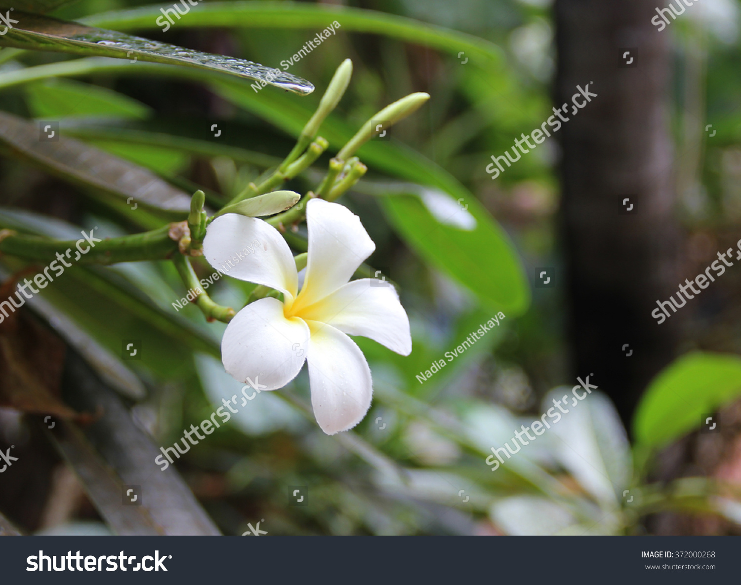 Beautiful White Tropical Flower Stock Photo Royalty Free 372000268