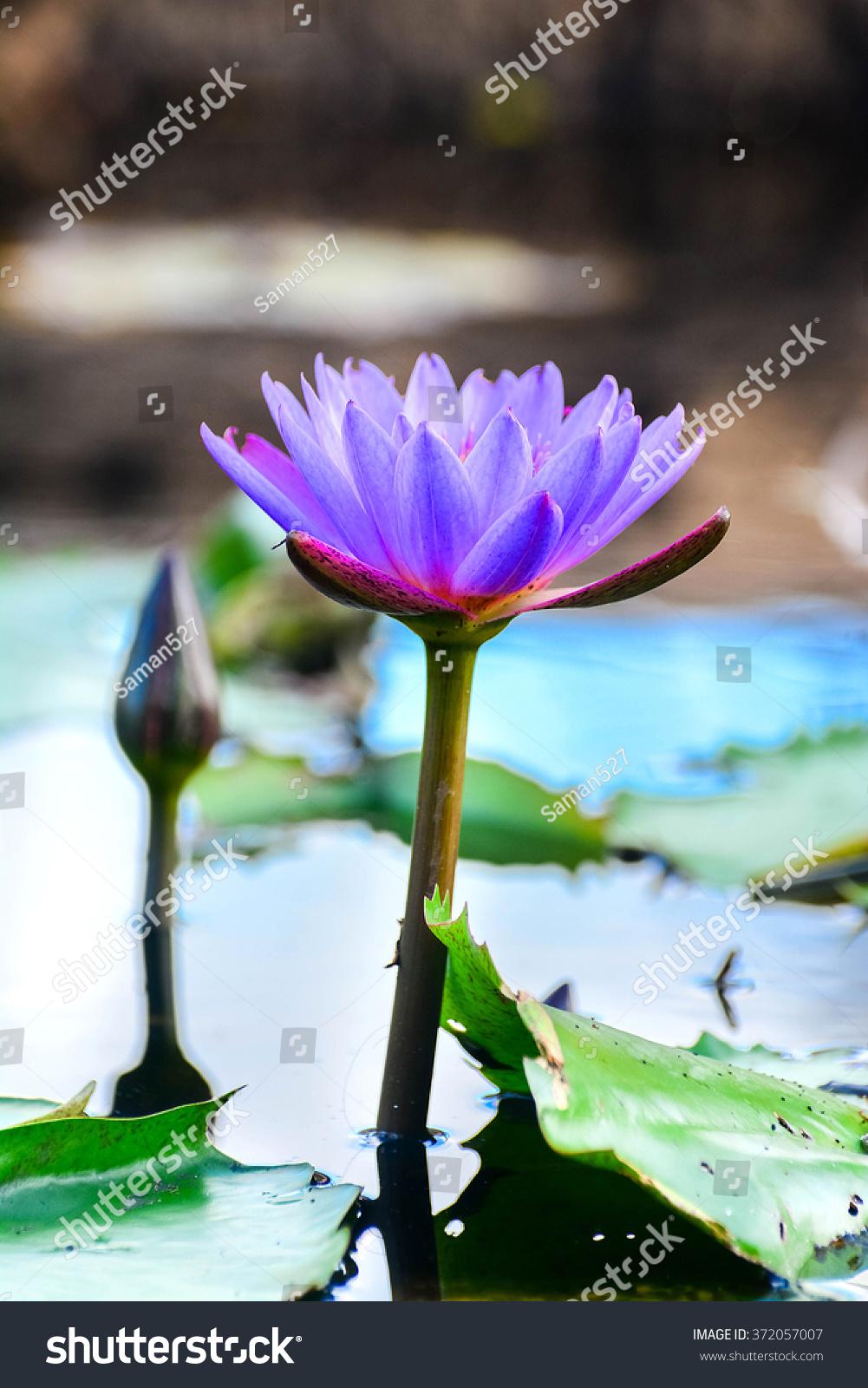 Nil manel blue water lily flower stock photo edit now 372057007 nil manel or blue water lily flower at royal botanical garden peradeniya sri lanka izmirmasajfo