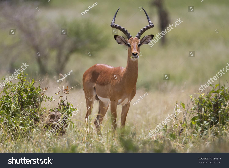 portrait of wild african impala antelope stock photo. Black Bedroom Furniture Sets. Home Design Ideas