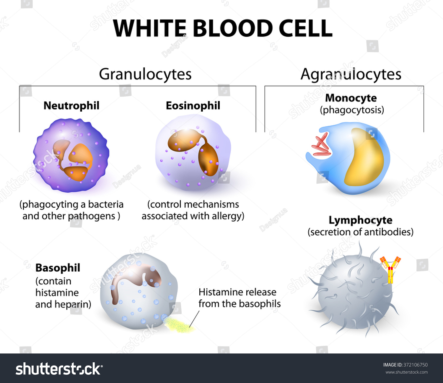 Remarkable Types White Blood Cells Infographics Stock Vector Royalty Free Wiring Database Liteviha4X4Andersnl