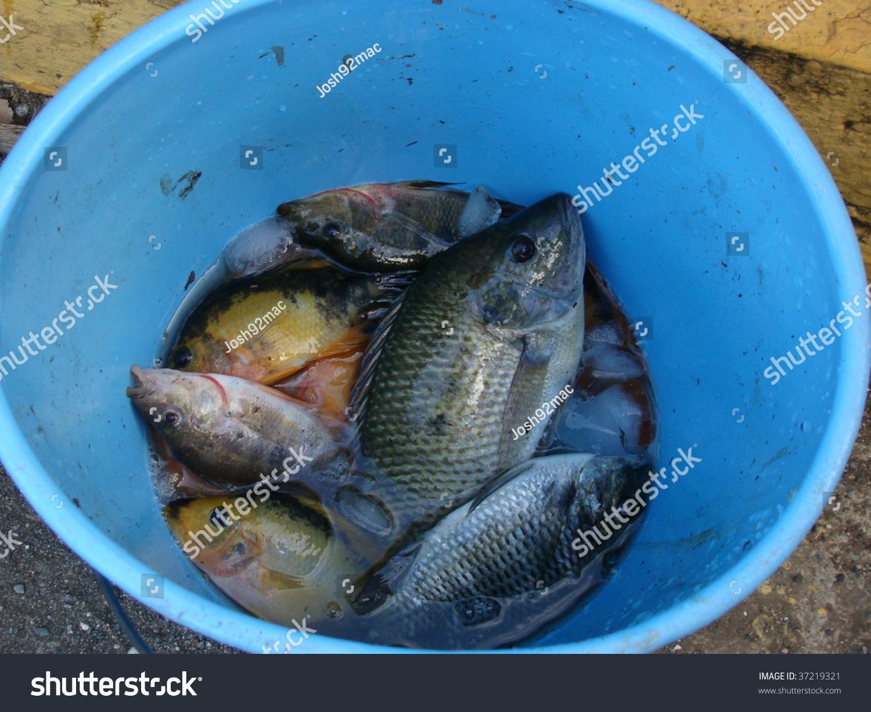 Fish in blue bucket stock photo 37219321 shutterstock for Bucket of fish