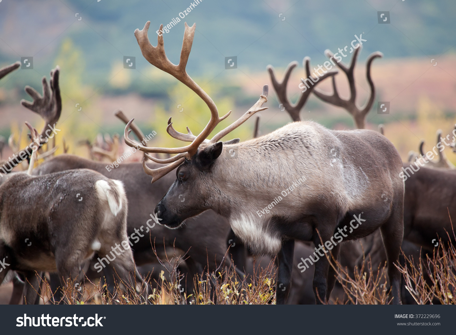 stock-photo-close-up-reindeer-caribou-in