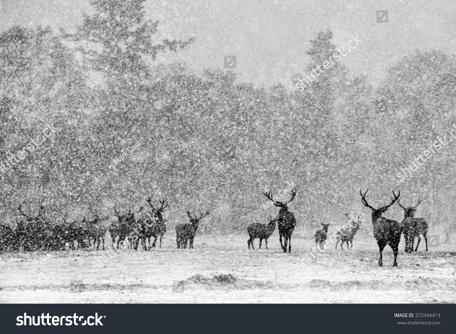 Red deer stags cervus elaphus in the scottish winter snow black and