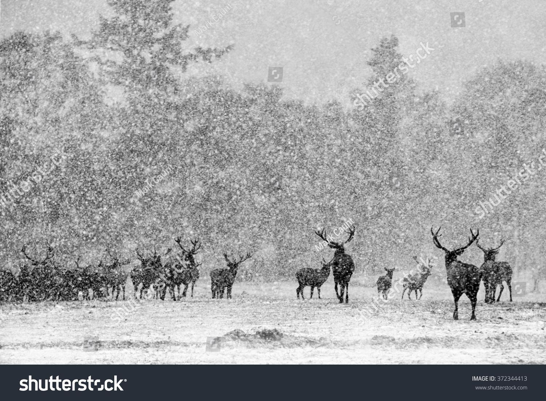 Red deer stags cervus elaphus in the scottish winter snow black and