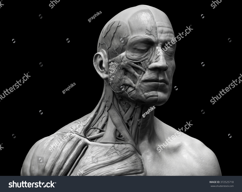 Human Body Anatomy Muscle Anatomy Face Stock Illustration 372525718 ...