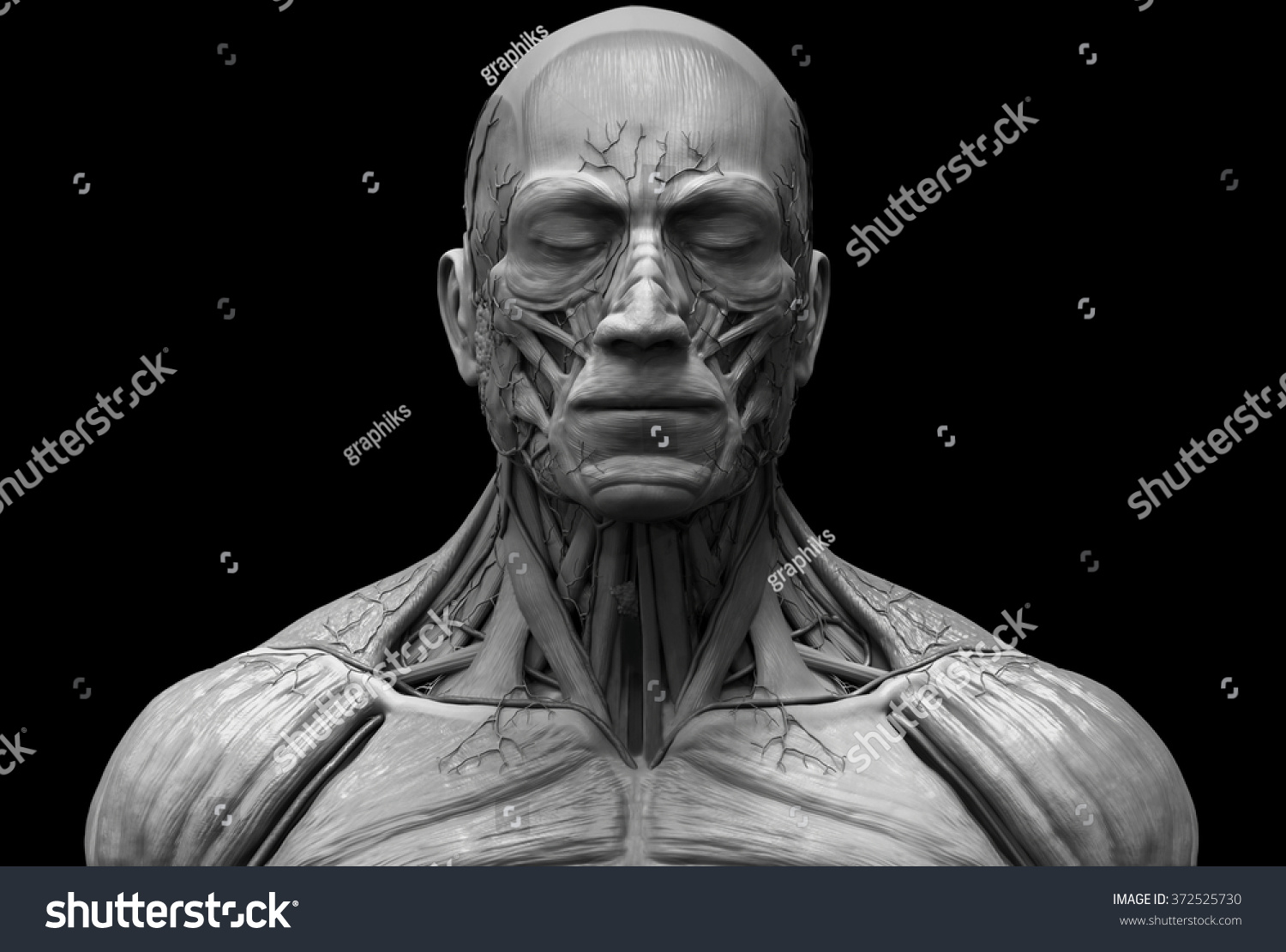 Human Anatomy Muscle Anatomy Face Neck Stock Illustration 372525730 ...
