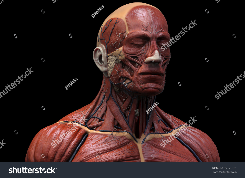 Human Anatomy Muscle Anatomy Face Neck Stock Illustration 372525781 ...