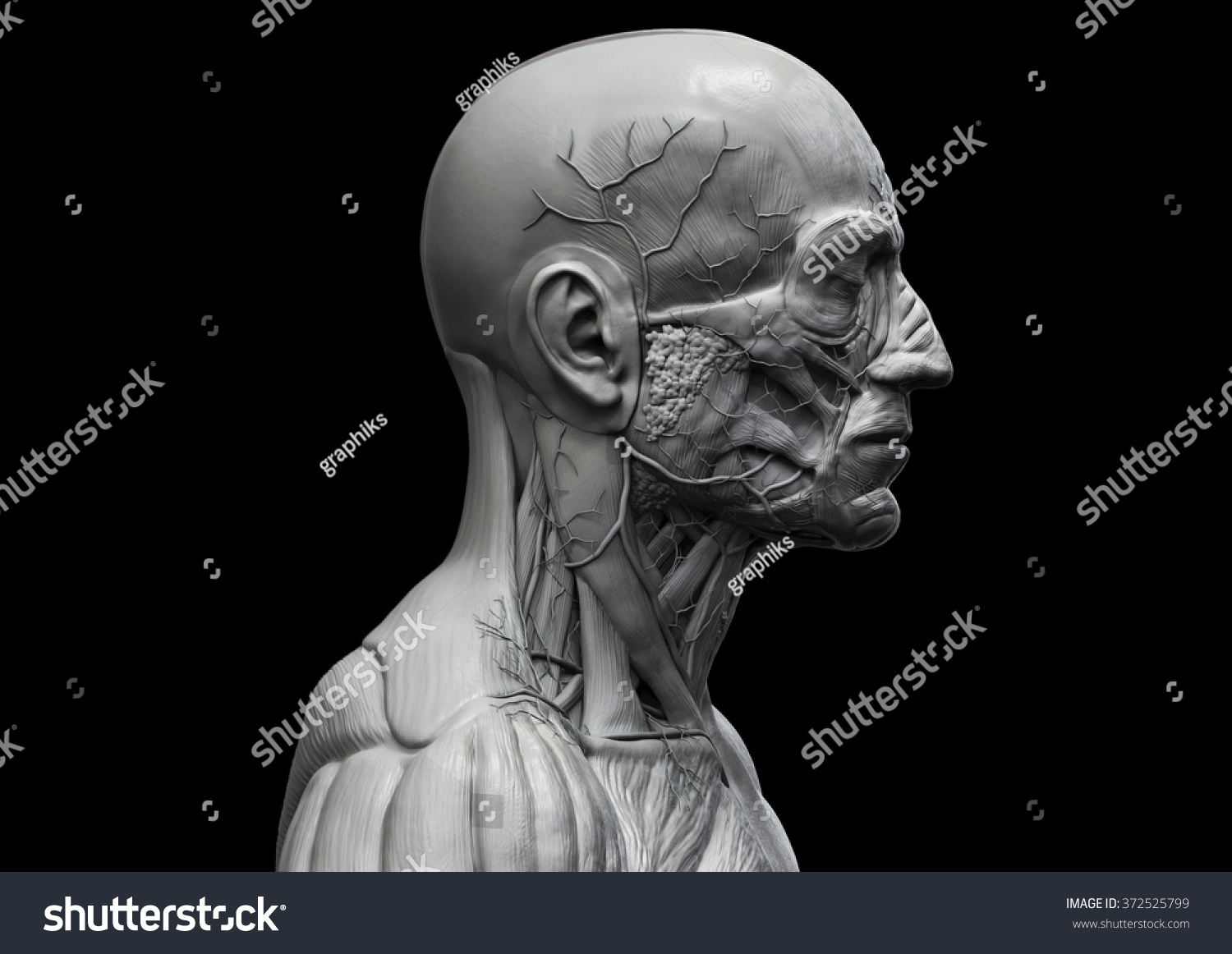 Royalty Free Stock Illustration Of Human Anatomy Muscle Anatomy Face