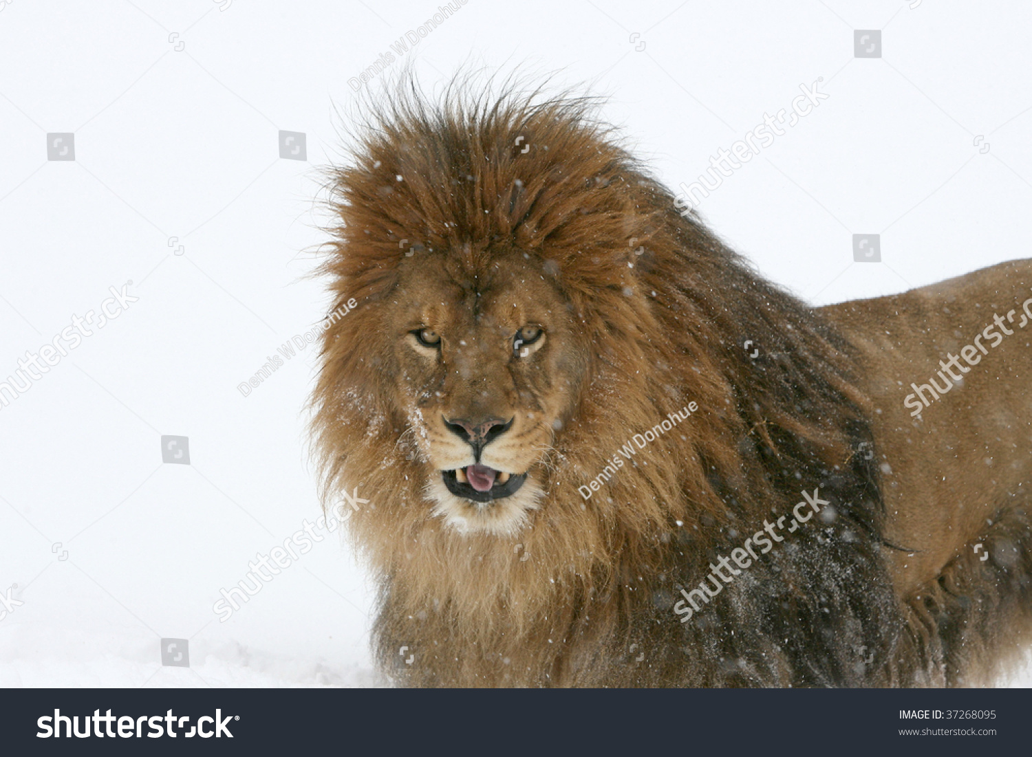 Barbary lion project