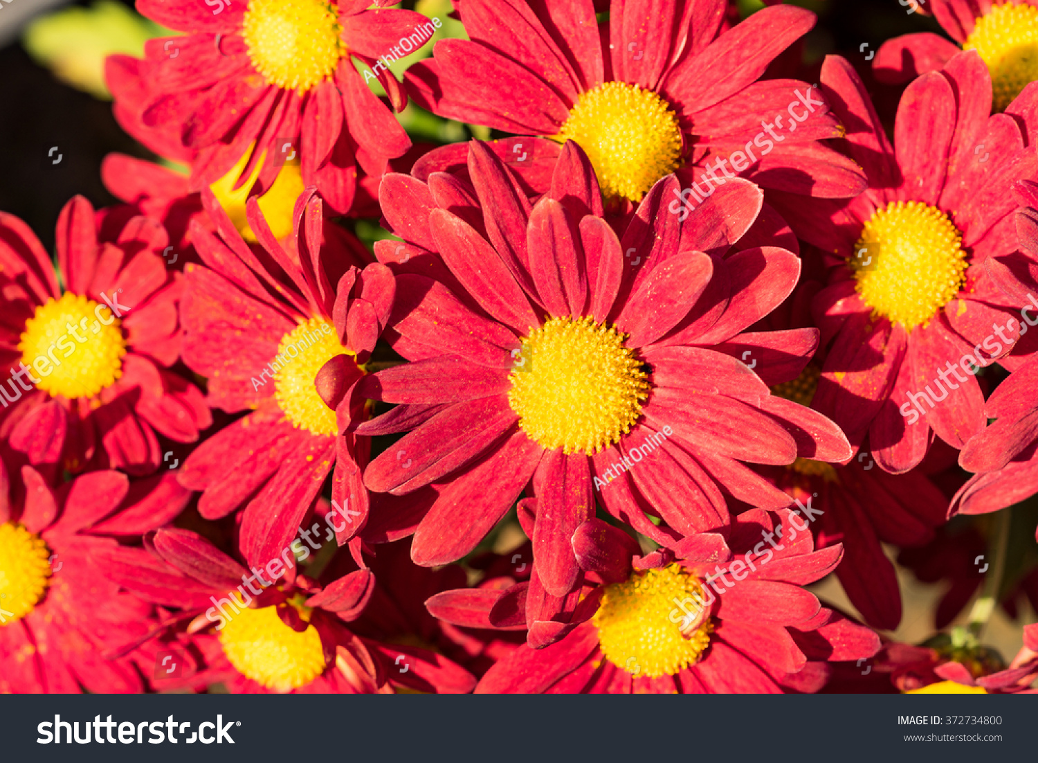 Beautiful Red Flowers Yellow Pollen Natural Stock Photo (Royalty ...