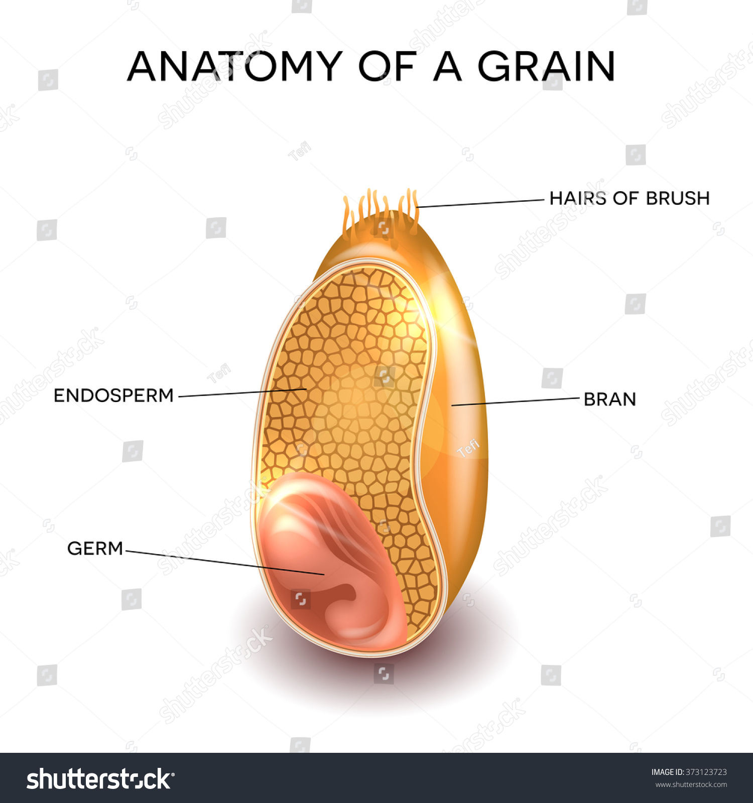 Grain Cross Section Anatomy Endosperm Germ Stock Vector Royalty