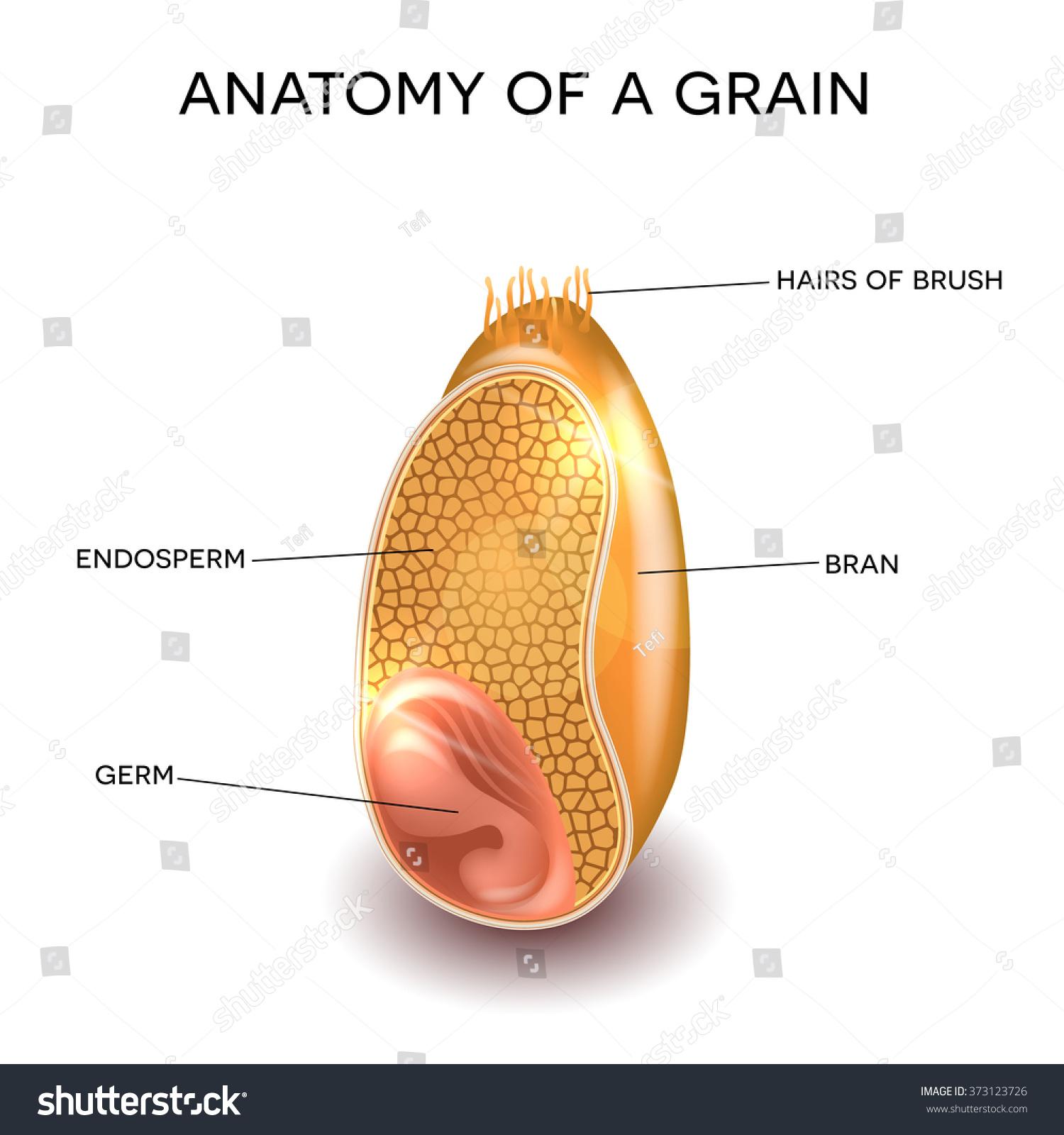 Grain Cross Section Anatomy Endosperm Germ Stock Illustration ...