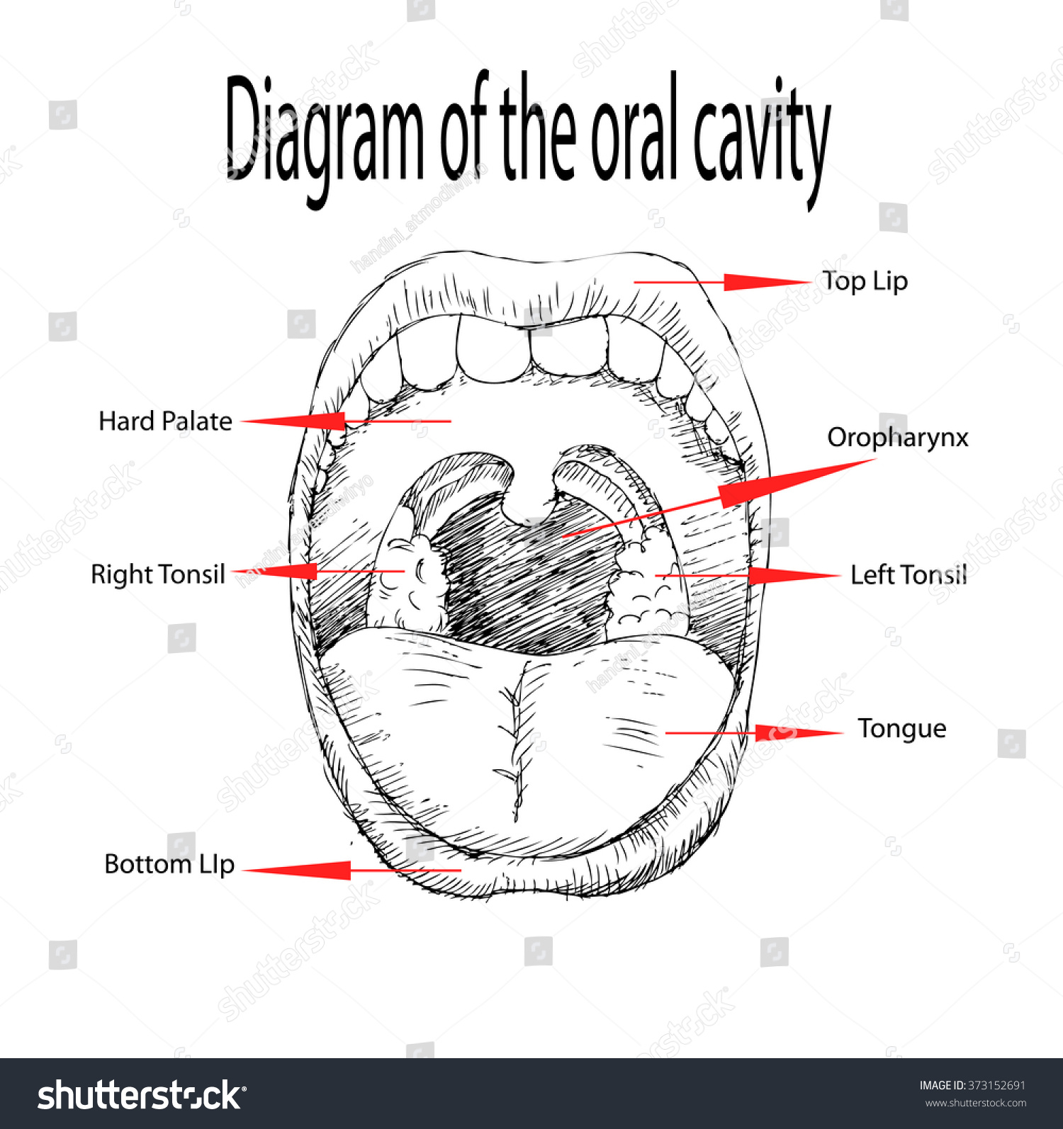 diagram oral cavity stock vector (royalty free) 373152691 - shutterstock