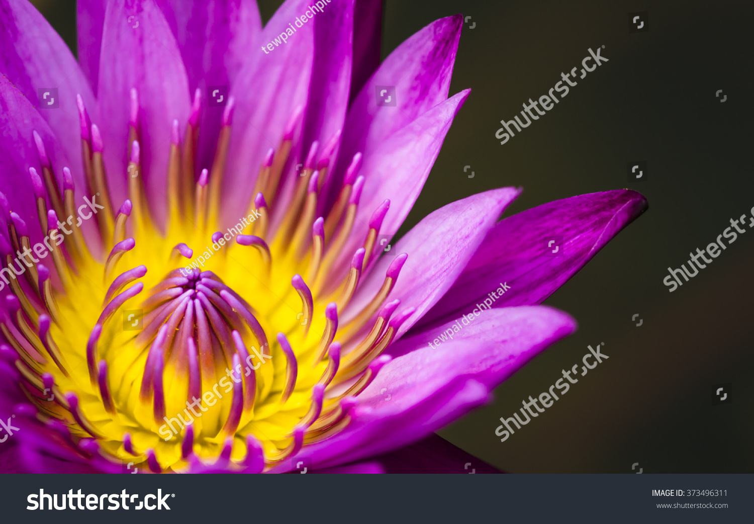The Beauty Of The Lotus Flowers Ez Canvas
