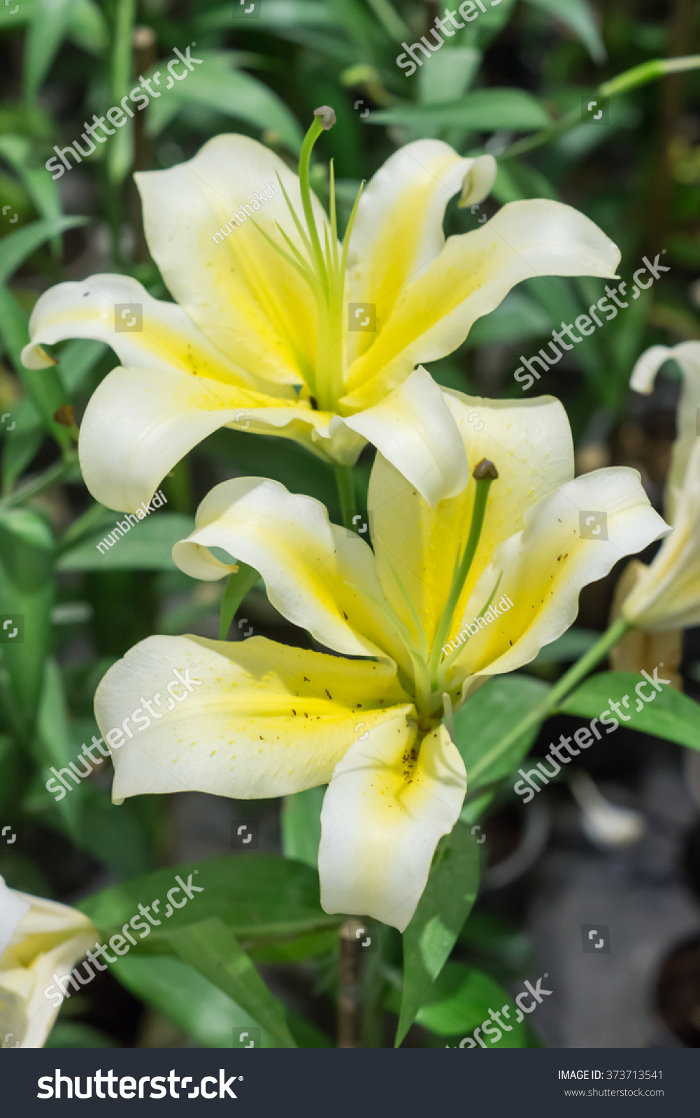 White Lilies Flowers Garden Beautiful Delicate Stock Photo Edit Now