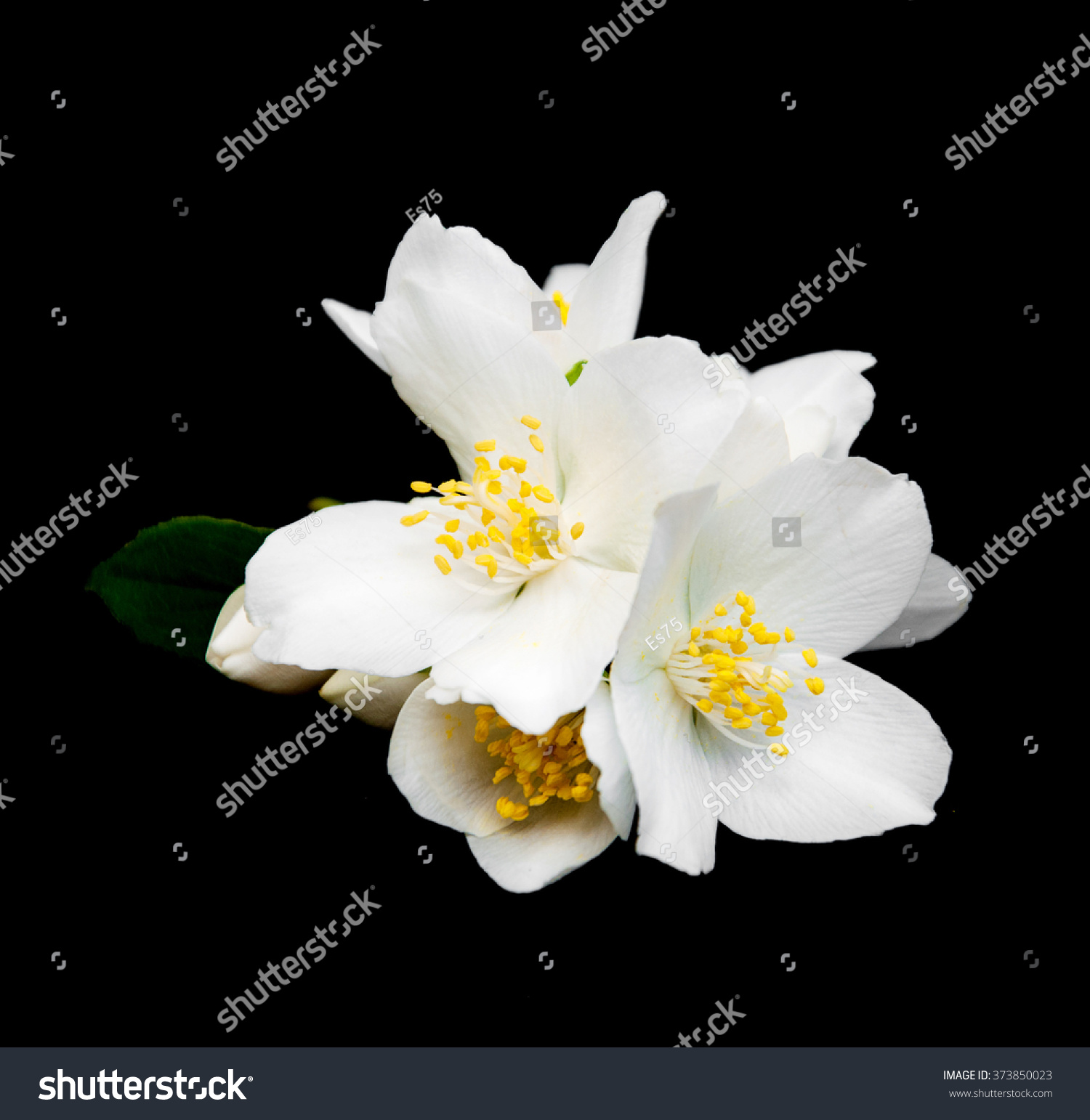 Jasmine Flowers Isolated On Black Background Stock Photo Royalty