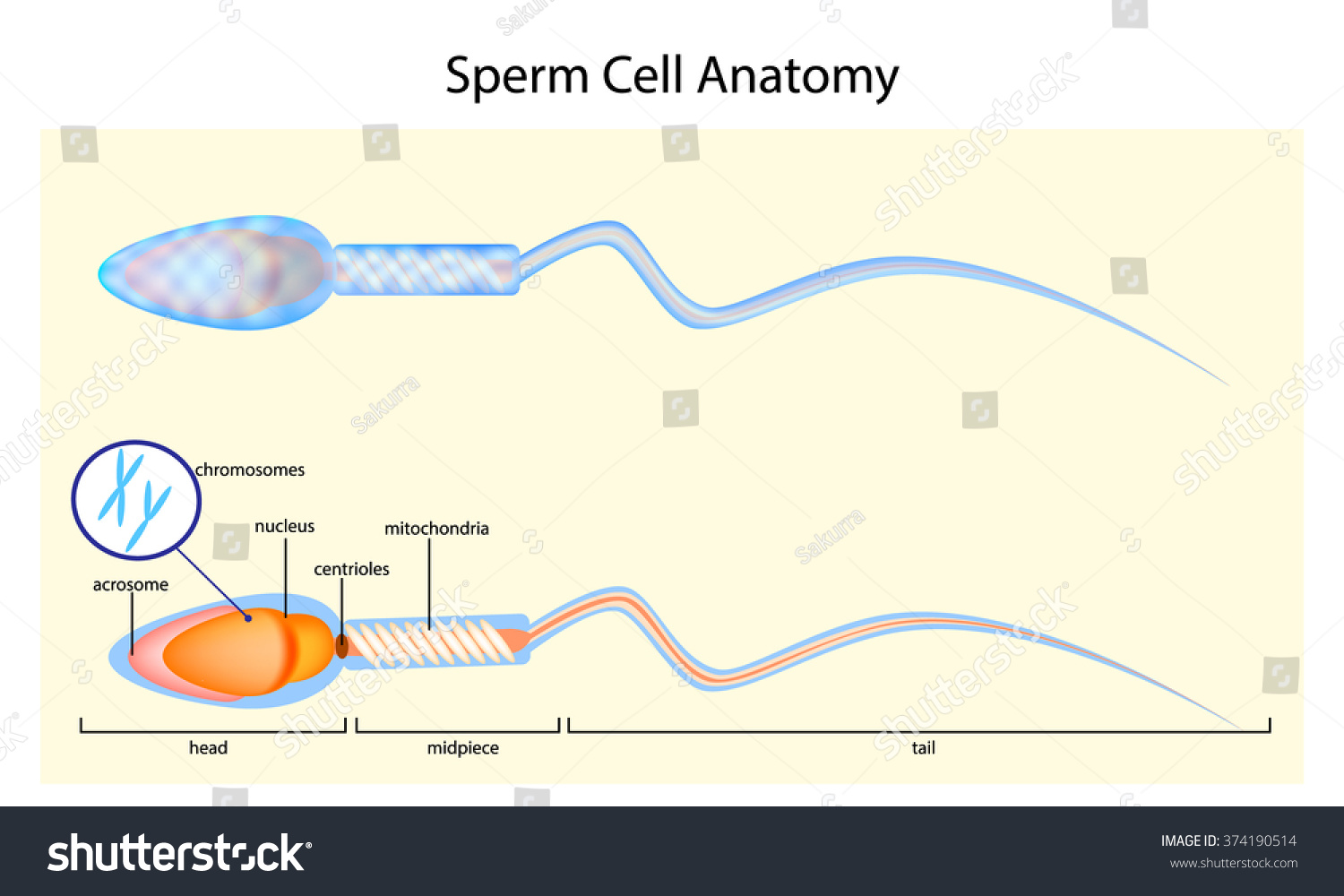 Human Sperm Cell Anatomy Illustration Stock Vector 374190514 ...