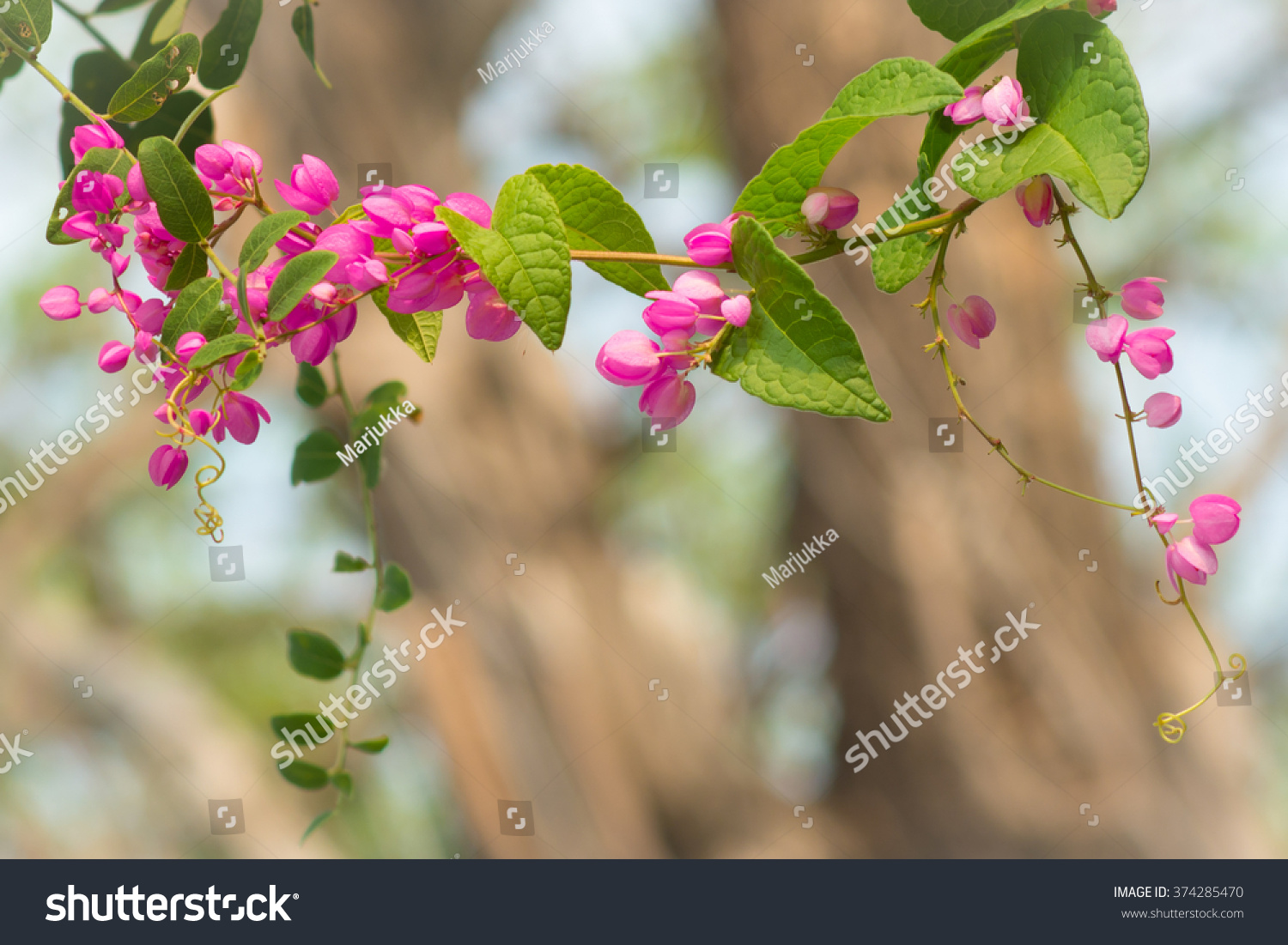 Ivy Pink Heart Shaped Flowers Leaves Stock Photo Royalty Free