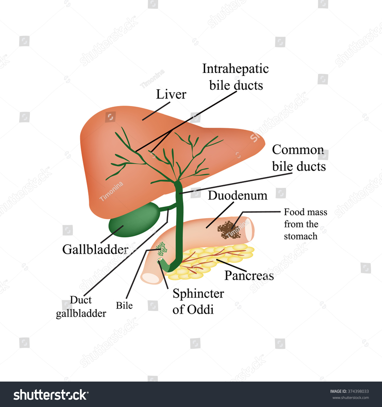 Anatomical Structure Liver Gallbladder Bile Ducts Stock Illustration ...