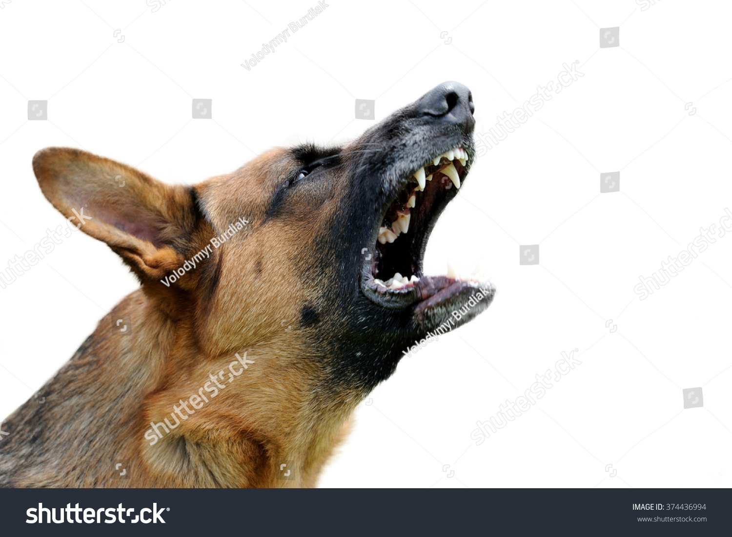 Close-up portrait angry dog isolated on white background