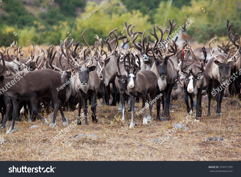 stock-photo-close-up-herd-of-caribou-rei