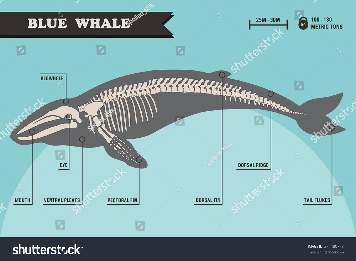 a study on the anatomy of the blue whale Learn about homologous structures people who study anatomy define these structures as any body part of one species that closely the flipper of a whale.