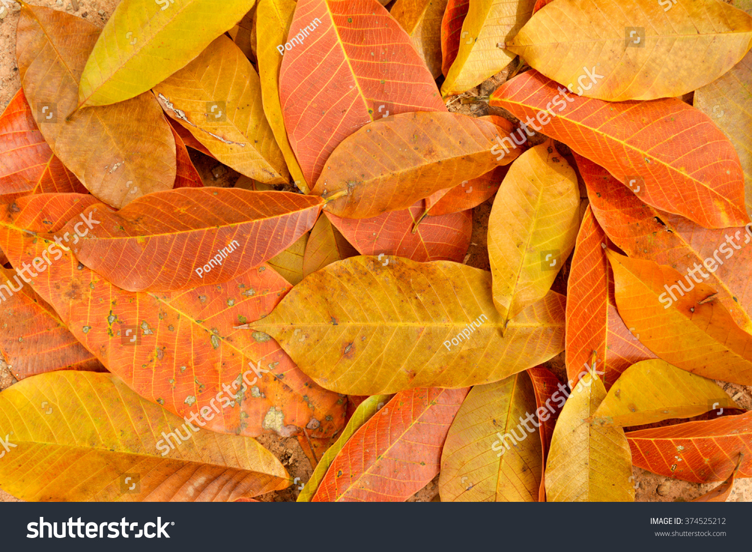 Trees Shed Last Of Their Leaves And We >> Autumn Season When Rubber Tree Shed Stock Photo Edit Now 374525212