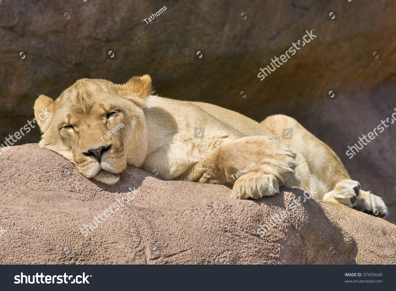 stock-photo-sleeping-watchful-lioness-37