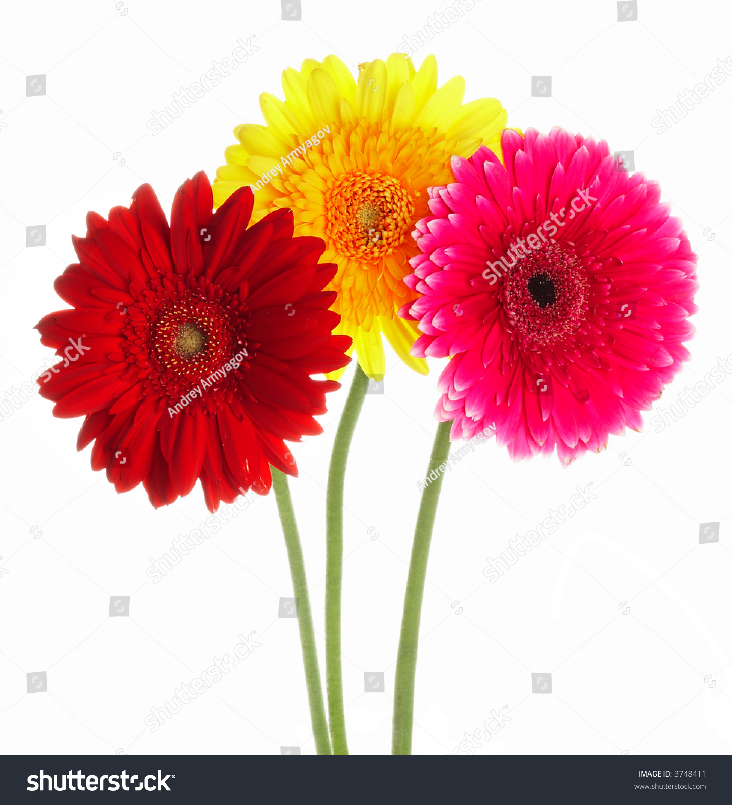 Photo Flowers Gerbers Different Color Stock Photo (Royalty Free ...