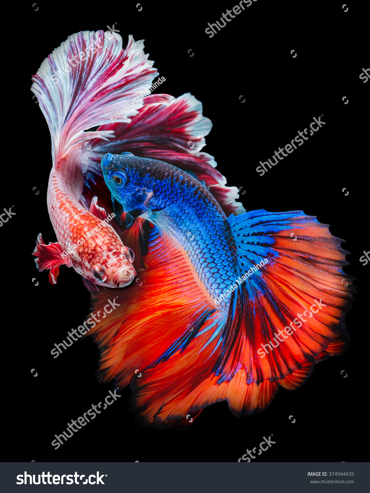 Fighting Colorful Betta Fish Isolated On Stock Photo (Edit Now ...