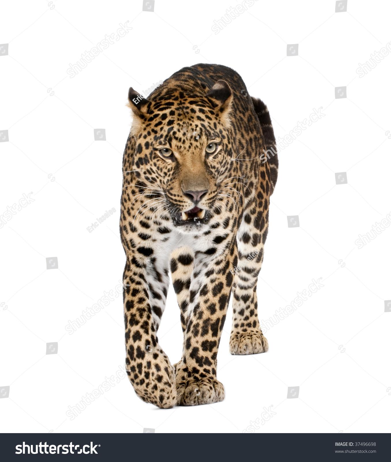 Snarling Jaguar: Portrait Leopard Walking Snarling Panthera Pardus Stock