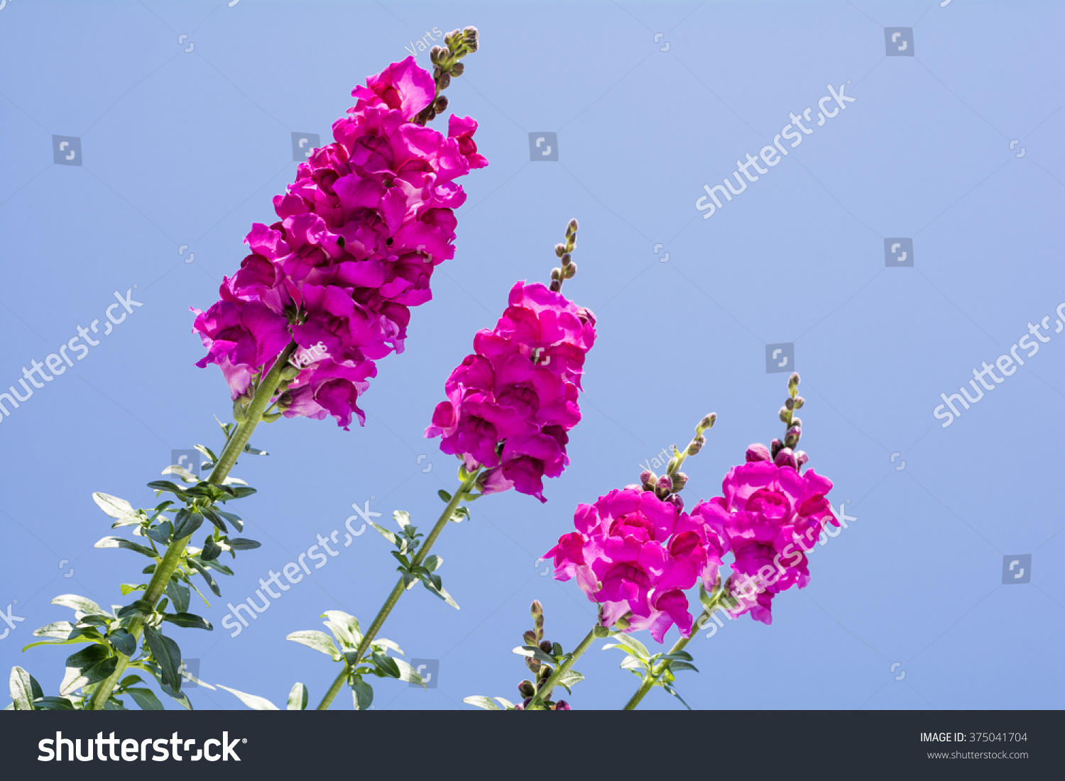 Bright Pink Snapdragon Flowers Under Blue Stock Photo Royalty Free